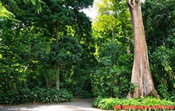 Rừng nhiệt đới tại vườn Bách thảo Singapore. Nơi đây tập trung rất nhiều cây cối đặc trưng của miền nhiệt đới, rất đáng để quan tâm